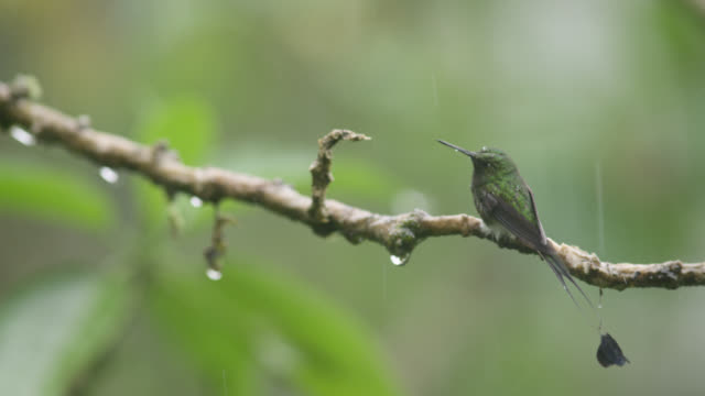 vídeos de stock, filmes e b-roll de booted racket tail hummingbird (ocreatus underwoodii) takes off in rain, ecuador - hummingbird
