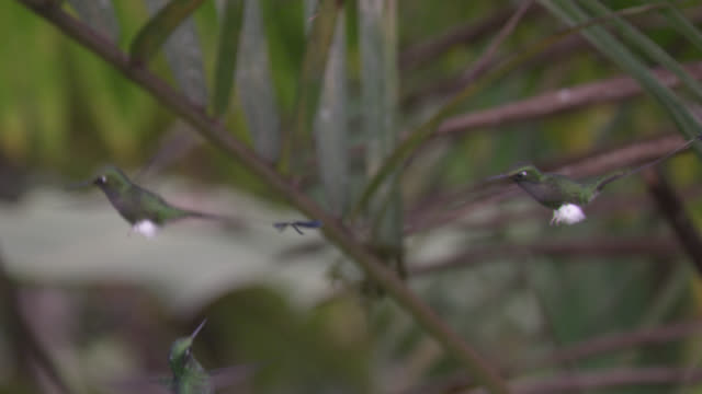 booted racket tail hummingbirds (ocreatus underwoodii) hover in forest, ecuador - hummingbird stock videos and b-roll footage