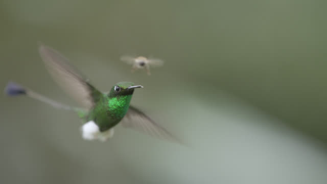 Booted racket tail hummingbirds (Ocreatus underwoodii) in forest, Ecuador