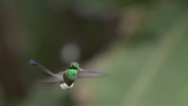 booted racket tail hummingbirds (ocreatus underwoodii) in forest, ecuador - tail stock videos & royalty-free footage