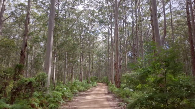 boranup drive in karri trees forest - strada in terra battuta video stock e b–roll