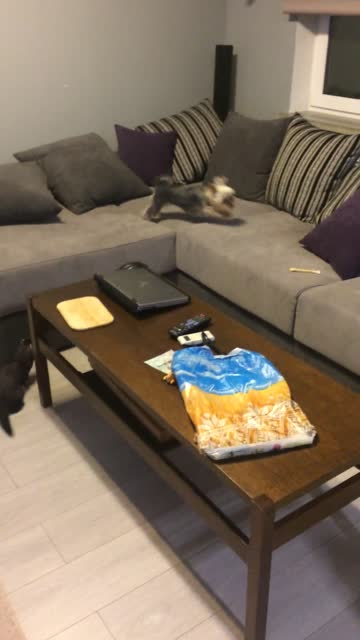 borchy the ferret and 1-year old deborah the yorkie enjoy an adorable game of tag. so much fun! - tag 1 stock-videos und b-roll-filmmaterial