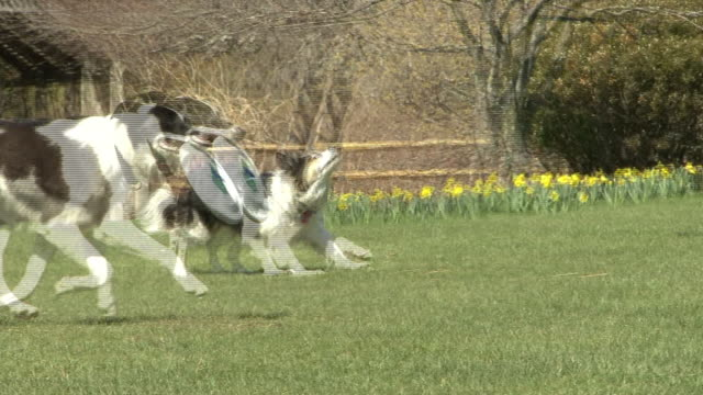 A border collie catches a Frisbee and runs across a dog park.