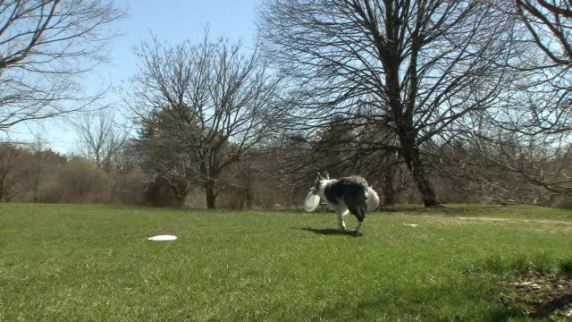 a border collie catches a frisbee. - catching stock videos & royalty-free footage