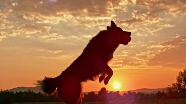 slo mo border collie catching a ball in sunset - consapevolezza video stock e b–roll