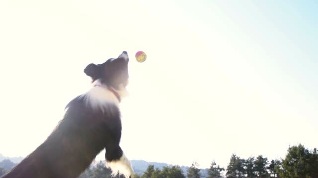 stockvideo's en b-roll-footage met slo mo border collie vangen van een bal - bal