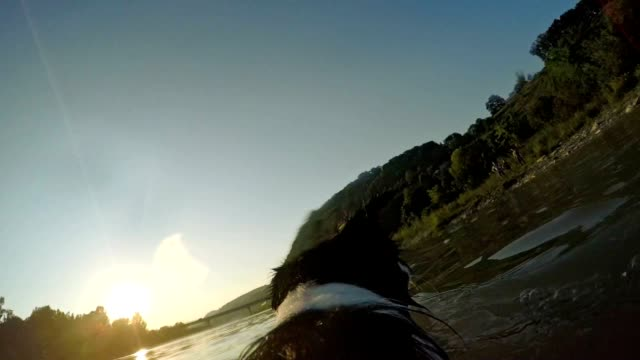 pov slo mo border collie catching a stick in the river - sheepdog stock videos & royalty-free footage