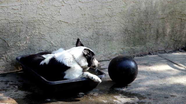 border collie cooling off in tub - collie stock videos & royalty-free footage