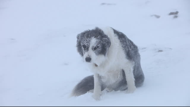 A Border Collie dog covered in hoare frost on Red Screes peak in the Lake District, UK, during cold winter weather.