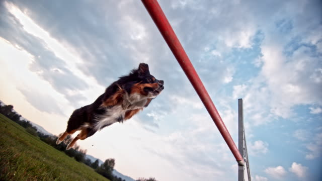 slo mo border collie dog doing as perfect hurdle jump - pure bred dog stock videos and b-roll footage