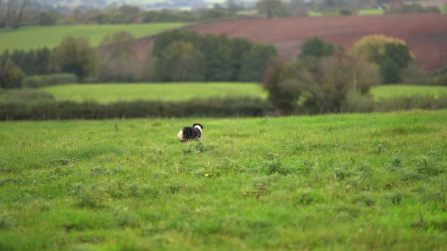 a border collie dog exploring the green fields and hedges - border collie stock videos & royalty-free footage