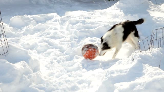 Border Collie Dog Playing Ball in Snow (Video)