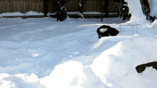 Border Collie Dog Running and Playing Ball in Snow (Video)
