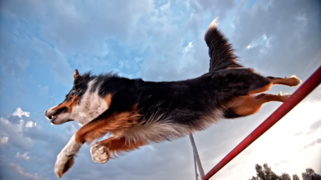 slo mo border collie doing a hurdle jump - collie stock videos & royalty-free footage