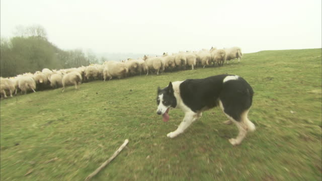 A border collie herds a flock of sheep across a green pasture.