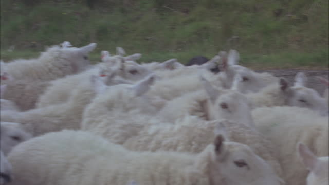 vídeos de stock, filmes e b-roll de a border collie herds a flock of sheep on a country road. - cão pastor