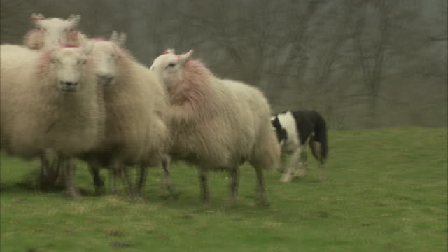 a border collie herds a flock of sheep. - herding stock-videos und b-roll-filmmaterial