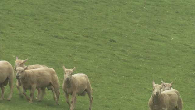 a border collie herds newly shorn sheep across a meadow. - herding stock-videos und b-roll-filmmaterial