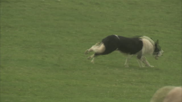 A border collie herds sheep across a pasture.
