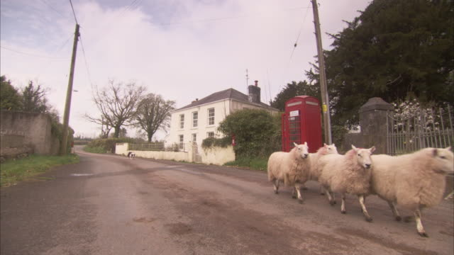 A border collie herds sheep down a street past a red phone booth.
