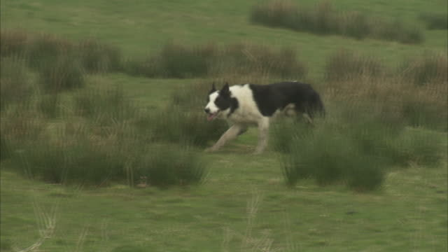 A border collie herds sheep in a grassy pasture.