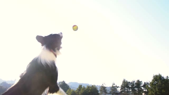 SLO MO Border Collie jumping to catch a ball