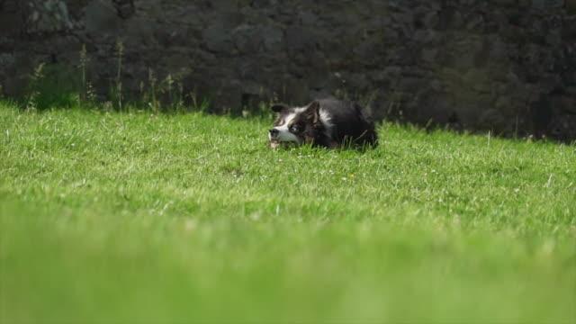 Border collie lays in field, Ireland