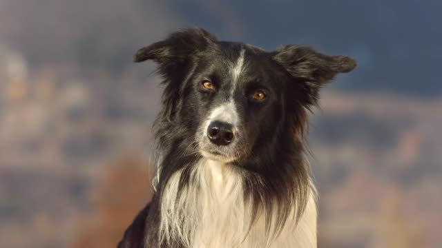 border collie looking at camera - animal head stock videos & royalty-free footage