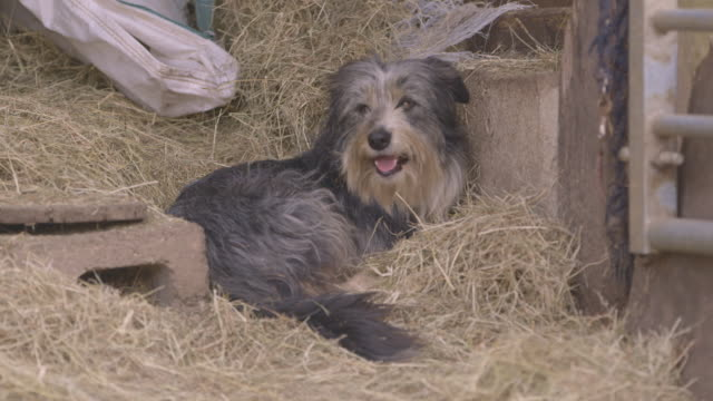 a border collie pants as it rests in the straw of a barn, uk. - pure bred dog stock videos and b-roll footage