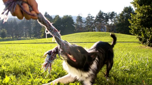 SLO MO Border Collie pulling a rope