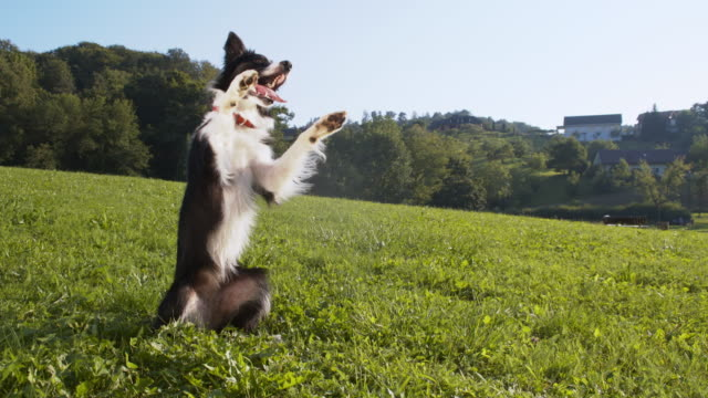 border collie rearing up and rolling on the grass - stunt stock videos & royalty-free footage