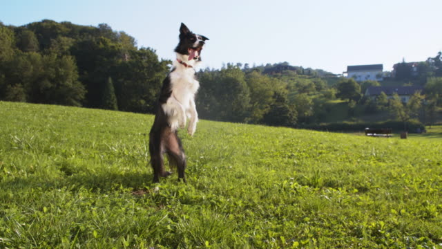 border collie rearing up on the grass - border collie stock videos & royalty-free footage