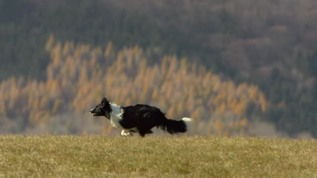Grenze Collie Running On The Lawn