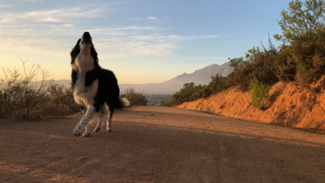 border collie running towards camera howling - sheepdog stock videos & royalty-free footage