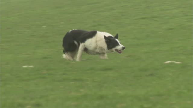 A border collie runs across a grassy field  in a crouched position.