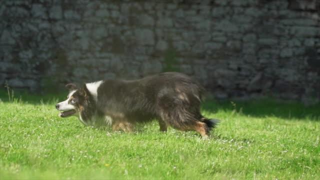 Border collie runs in field, Ireland