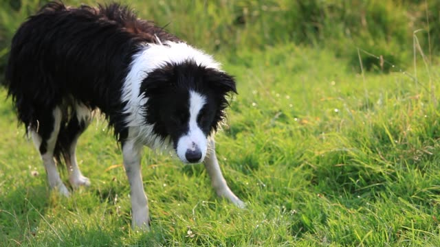 a border collie shaking off water. - sheepdog stock videos & royalty-free footage