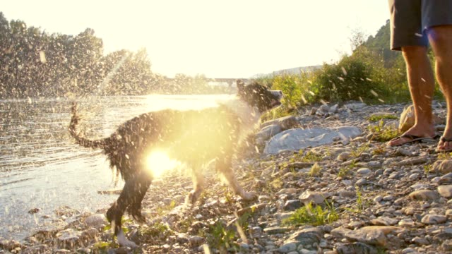 slo mo border collie shaking off water - wet stock videos & royalty-free footage
