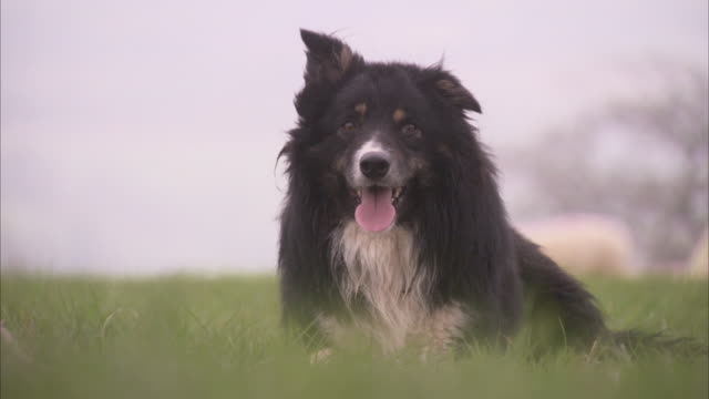 A border collie sits in a grassy field and looks around.