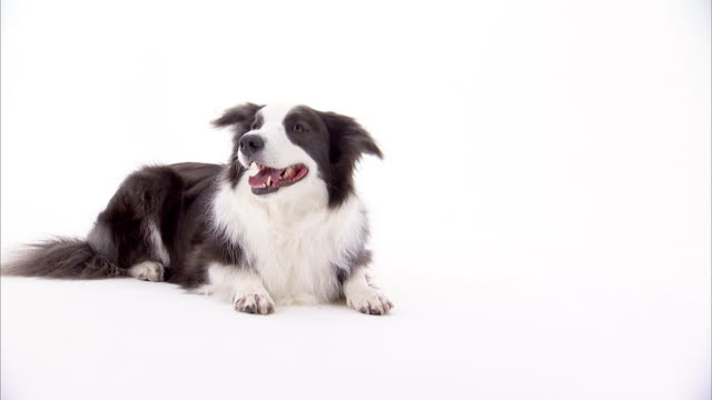 a border collie sits on a white surface. - white background stock videos & royalty-free footage