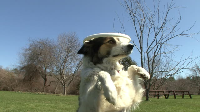 A border collie sits up and balances a Frisbee on its head, and then tries to catch it.