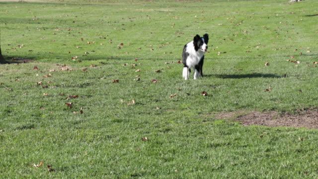 Border Collie standing, walks towards camera