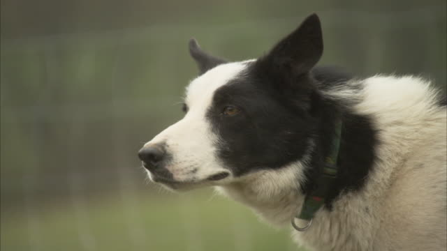 a border collie watches attentively near a fenced pasture. - border collie stock videos & royalty-free footage