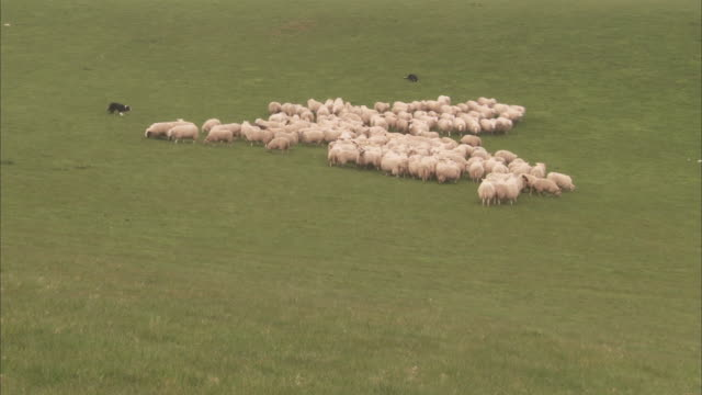 border collies herd a flock of sheep in a wide meadow. - herding stock-videos und b-roll-filmmaterial