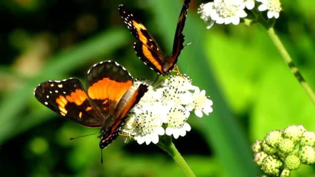 vidéos et rushes de patch bordé de papillons - two animals