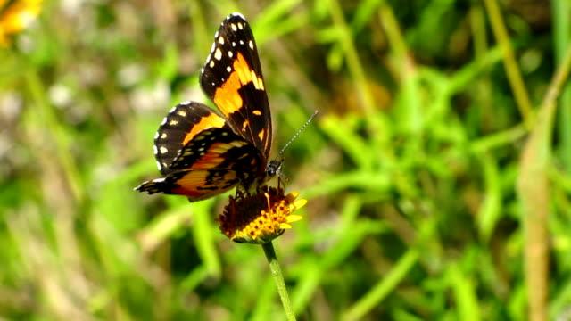 vidéos et rushes de papillon bordé patch - des papillons dans le ventre