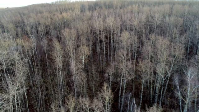 boreal forest in late autumn - aspen tree stock videos & royalty-free footage