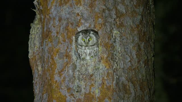 ベラルーシ、木の穴にあるボレアルフクロウ(エーゴリウス・フネレウス) - 六月点の映像素材/bロール