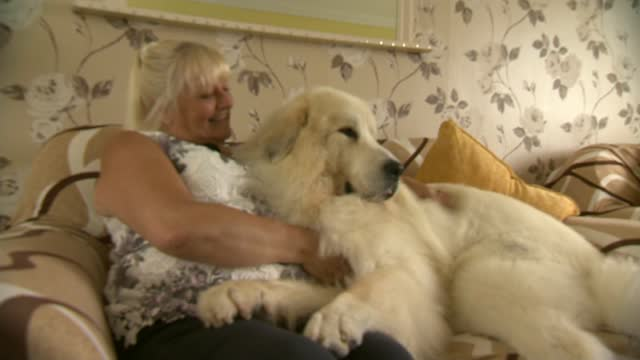 boris the pyrenean mountain dog named a champion of his breed; england: berkshire: bracknell: ext boris the pyrenean mountain dog with his owner... - sofa stock videos & royalty-free footage