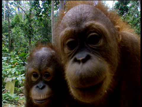 Bornean Orang Utan peer at camera with arms around each other Borneo